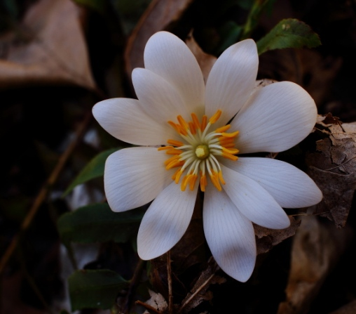 Bloodroot, photo by Rich Pendlebury