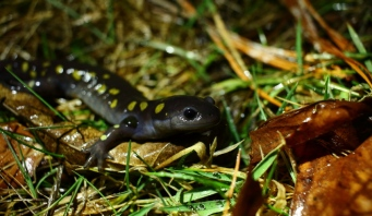Spotted Salamander, photo by Rich Pendlebury
