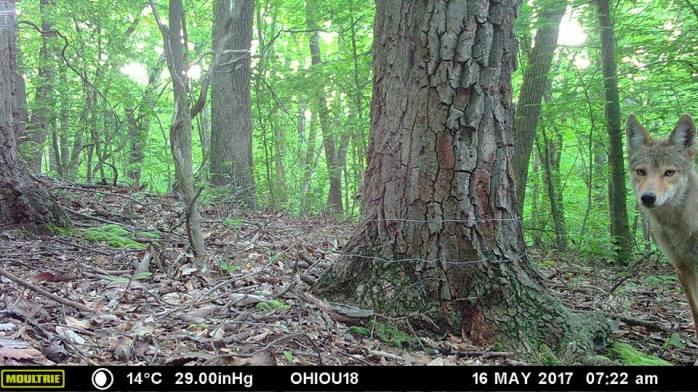 2 hiding coyotes