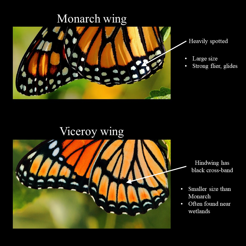 viceroy vs monarch